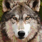 Avez vous entendu le loup